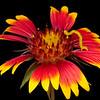 Firewheel with inch worm