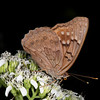 Frostweed with hackberry emperor