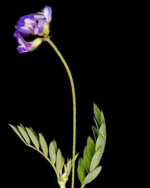 Smallflower vetch