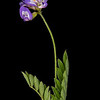 Smallflower vetch