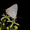 Wafer ash with gray hairstreak