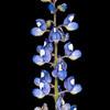 Sandyland bluebonnet