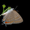 Western soapberry with soapberry hairstreak