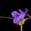 Giant spiderwort