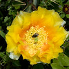 Texas prickly pear with Kern's flower scarab beetle