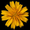 Virginia dwarf dandelion