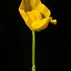 Humped bladderwort