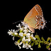 Texas kidneywood with juniper hairstreak