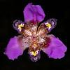 Purple pleatleaf