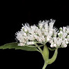 White boneset