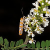 Texas kidneywood with ailanthus webworm moth