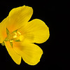 Creeping water primrose