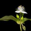River spiderwort