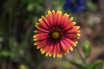 Indian Blanket or Firewheel