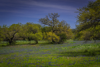Bluebonnets and Oak Trees
