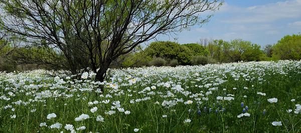 White Meadow
