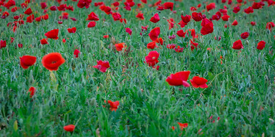 Poppies, Wildseed Farm