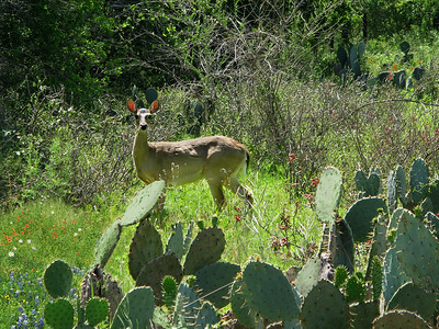Deer and  Cactus