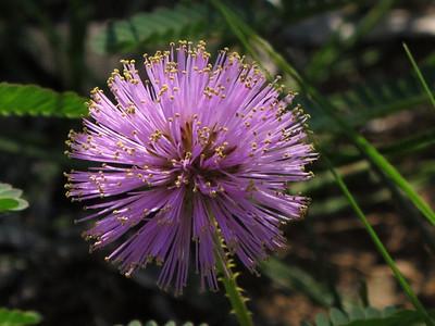 Texas Purple Thistle