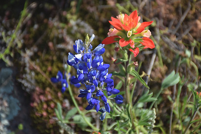 Bluebonnet and Indian Paintbrush  Duo