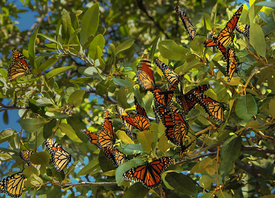 Monarch Butterfly Rest Stop