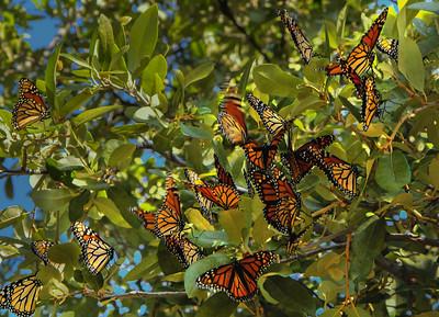 Monarch Butterfly Rest Stop
