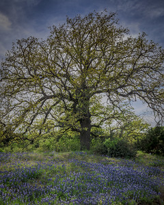 Backlit Oak and Bluebonnets