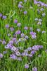 Prairie verbena (Glandularia bipinnatifida). Taken at Gayle Waldrip's Rocky Top Ranch, Burnet County, Texas, USA.