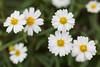 Blackfoot daisies (Melampodium leucanthum). Taken at Gayle Waldrip's Rocky Top Ranch, Burnet County, Texas, USA.