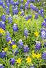 Texas stars (Lindheimera texana) and Texas bluebonnets (Lupinus texensis). Taken at Gayle Waldrip's Rocky Top Ranch, Burnet County, Texas, USA.