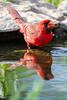 A Northern cardinal (Cardinalis cardinalis) male, bathing in a pond. Taken at Gayle Waldrip's Rocky Top Ranch, Burnet County, Texas, USA.