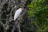 A cattle egret (Bubulcus ibis) in breeding plumage. Taken in Lady Bird Johnson Municipal Park, Fredericksburg, Texas.