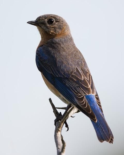 A female eastern bluebird (Sialia sialis). Taken on Gayle Waldrip's Rocky Top Ranch, Burnet County, Texas, USA.