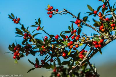 Yaupon berries at Aransas NWR.