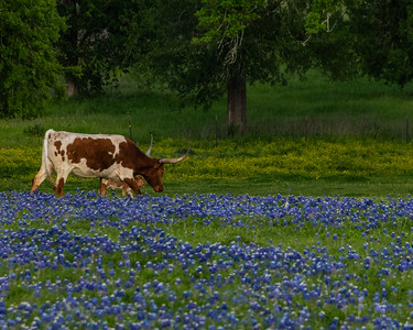 Bluebonnets, Longhorns_20190402_0630 20 x 16