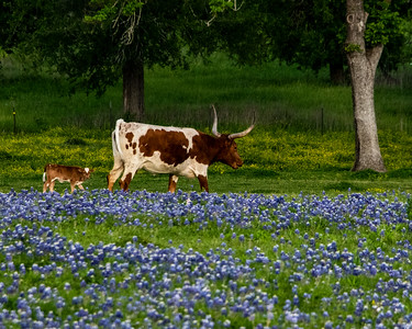 Bluebonnets, Longhorns_20190402_0644 20 x 16