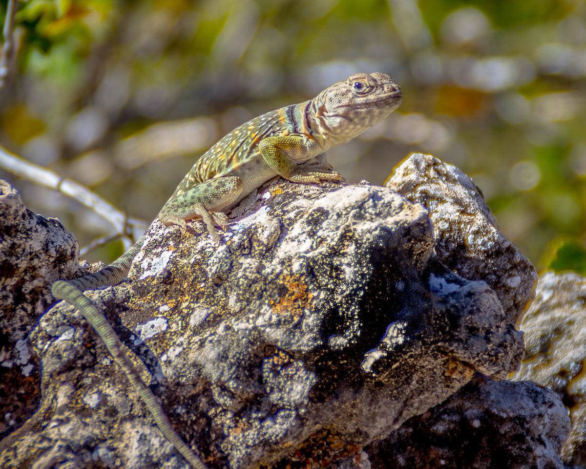 Collared Lizard 2