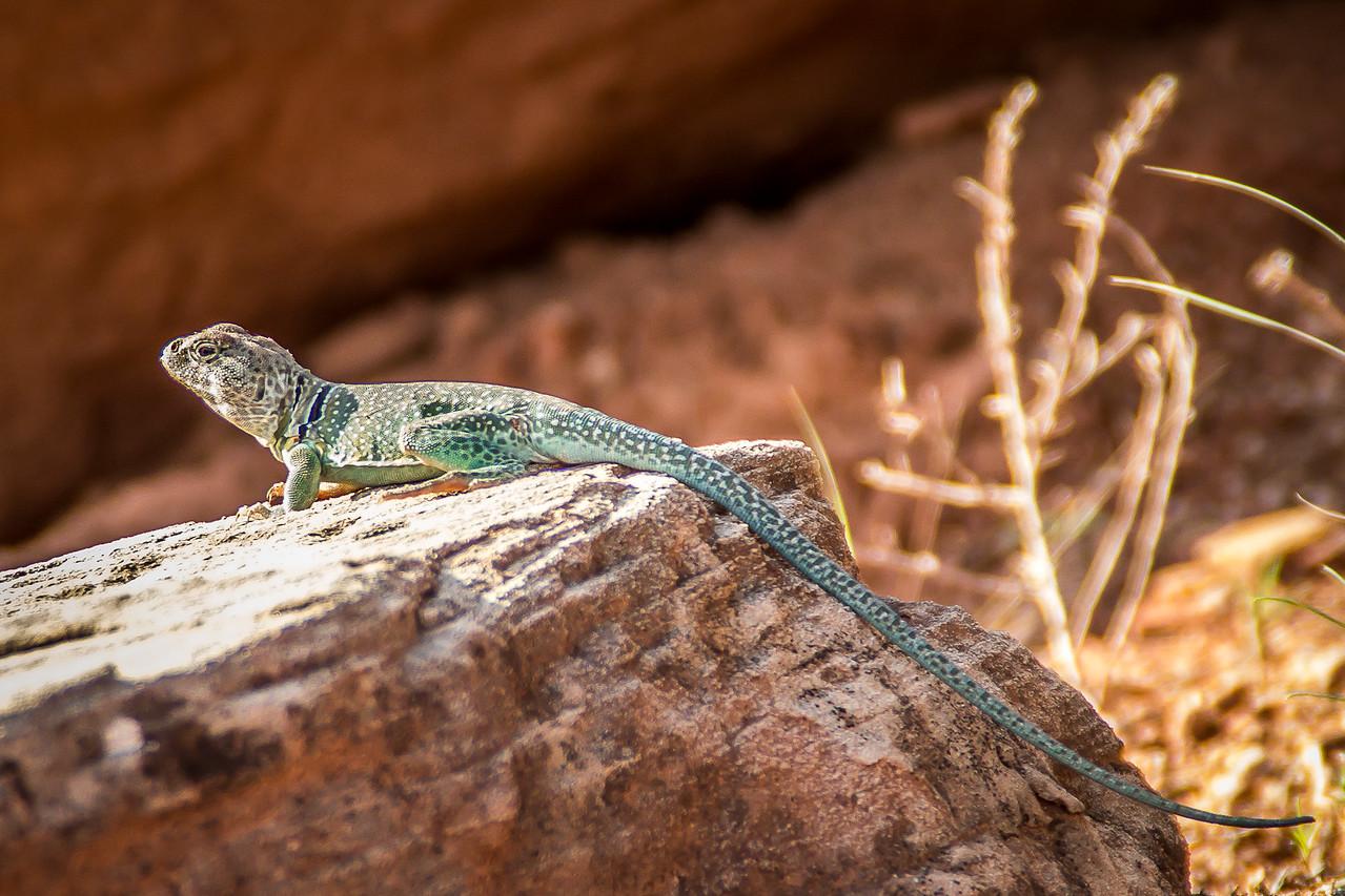 Collared Lizard 3