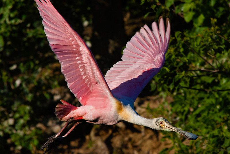 Here's Looking At You Kid! Roseate Spoonbill, Smith Oaks Rookery, High Island, Texas, May 2014.
