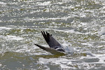 Laughing Gull Dive