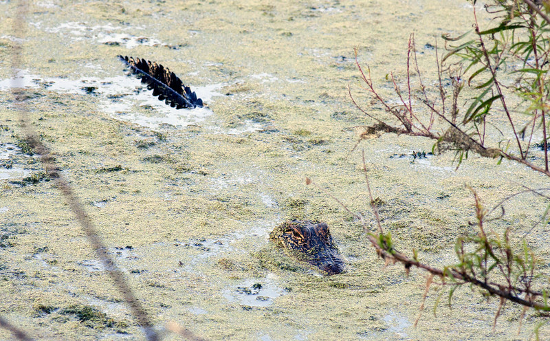 Young Alligator -Smith Oaks Rookery, High Island, Texas 2013