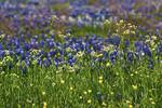 Bluebonnet Backdrop -Ennis, Texas 4-10-12