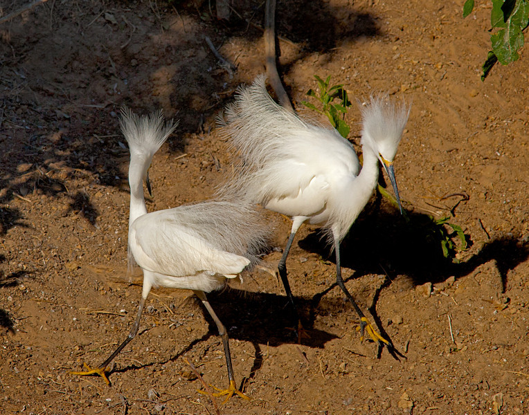 Dueling Snowy Egrets, Smith Oaks Rookery, High Island, Texas, May, 2014.