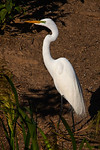 Great White Egret, Smith Oaks Rookery, High Island, Texas, May 2014.