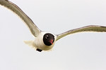 Familiar and Trusting -The Laughing Gull, at the ferry, Galveston, Texas