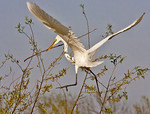 Great White Egret High Island, Texas 3-25-2014