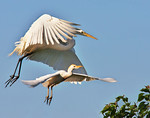 Crowded Flyway. Great White Egret and Cattle Egret, Smith Oaks Rookery, High Island, Texas May 2014.