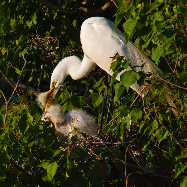 Great White Egret Feeding Chicks after male returns home. Mother has left after waiting all day for the male to return. Smith Oaks Rookery, High Island, Texas, May 2014.