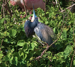 Tri-Colored Heron Display -Smith Oaks Rookery, High Island, Texas