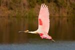Roseate Spoonbill High Island, Texas 3-25-2014